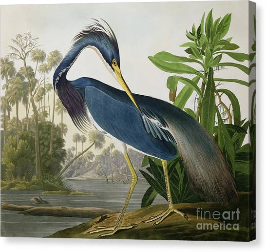 Bush Canvas Print - Louisiana Heron by John James Audubon