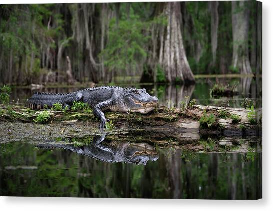 Atchafalaya Basin Canvas Print - Louisiana Alligator In The Wild by Larry Arcement