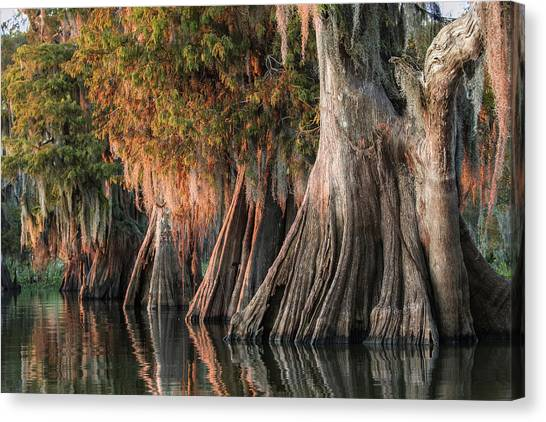 Atchafalaya Basin Canvas Print - Louisiana Swamp Giant Bald Cypress Trees One by Bill Swindaman