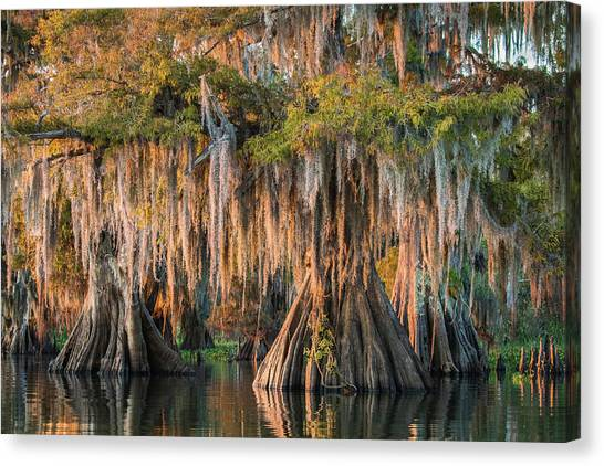 Atchafalaya Basin Canvas Print - Louisiana Swamp Giant Bald Cypress Trees Two by Bill Swindaman