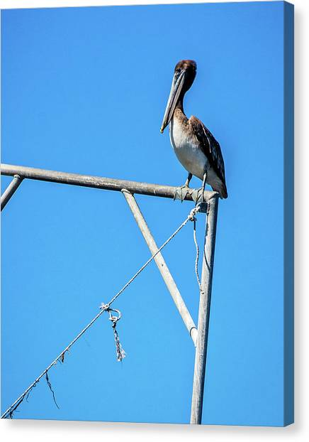 Louisiana's State Bird Canvas Print