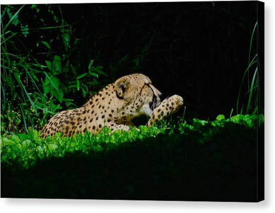 Lounging Cat Canvas Print by Gene Sizemore