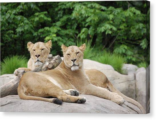 Lounging Lions Canvas Print by Samantha Kimble