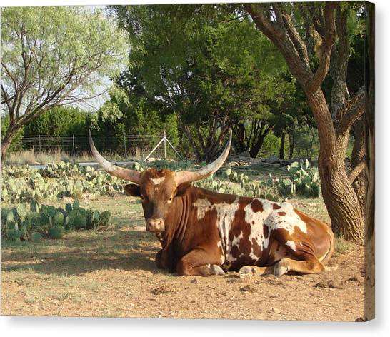 Lounging Longhorn Canvas Print