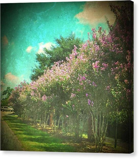 Purple Canvas Print - Love Purple Crepe Myrtles #allinarow by Joan McCool