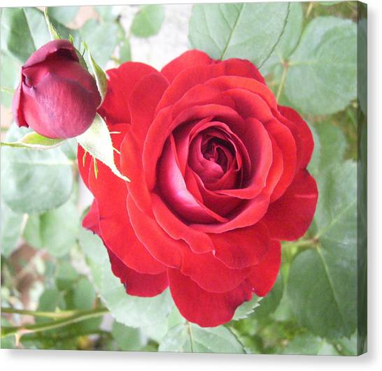 Canvas Print - Love Roses by Lisa Roy