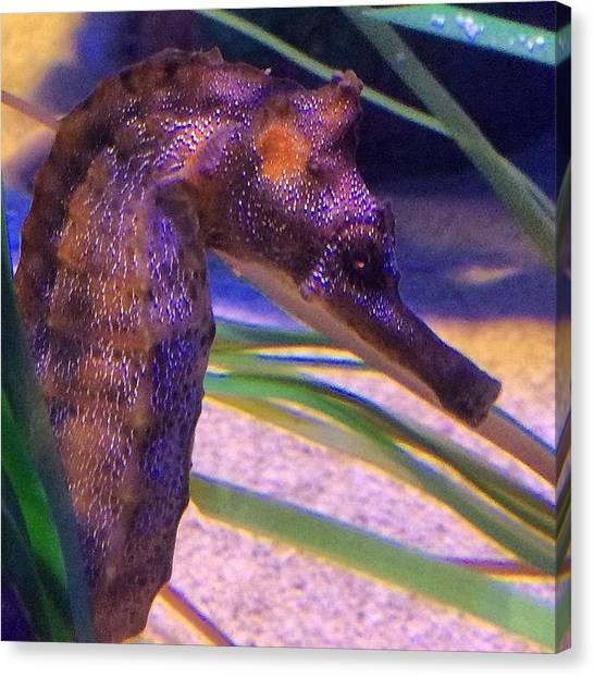 Seahorses Canvas Print - Love Seahorses! Long Beach Aquarium by Kerri Ann Crau