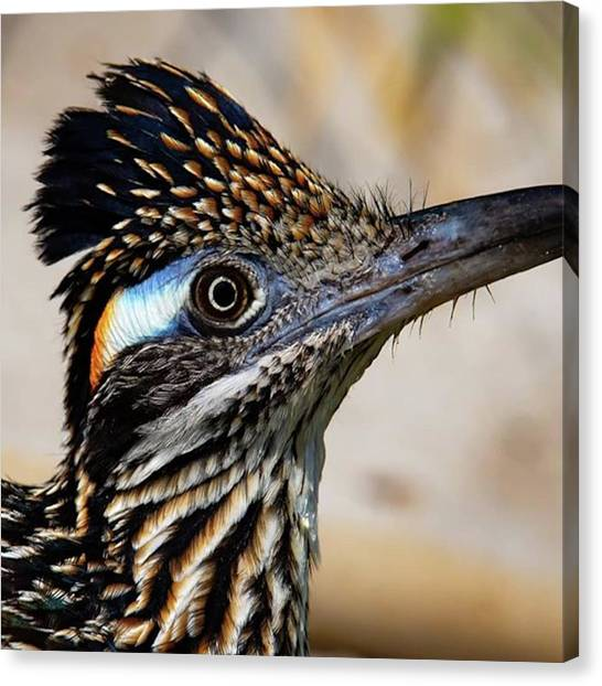 Roadrunner Canvas Print - Love The Colorful Patch Behind The Eye by Chris Lopez