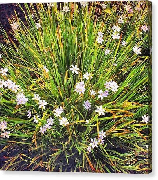 Purple Canvas Print - Love These Happy Little Flowers by Joan McCool