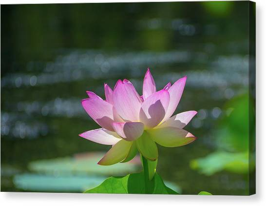 Lovely Lotus In Pink Canvas Print