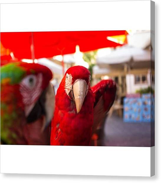 Macaws Canvas Print - Lovely Macaw Parrot  #parrot by Leandros Kounadis