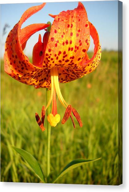 Lovely Orange Spotted Tiger Lily Canvas Print