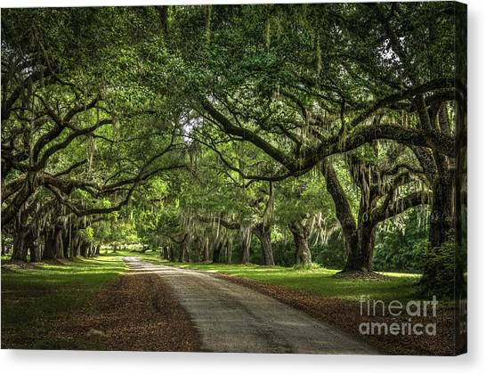 Low Country Live Oak Canvas Print