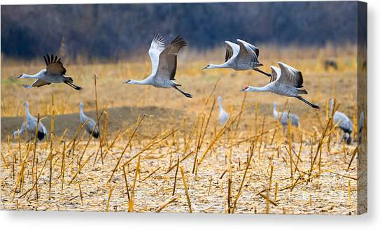 Sandhill Crane Canvas Print - Low Level Flyby by Mike Dawson