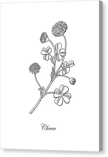 Clover Canvas Print - Lucky Clover Botanical Flower Drawing  by Irina Sztukowski