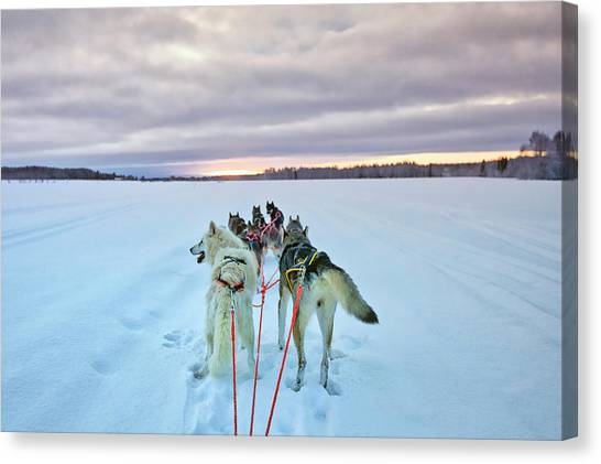 Huskies Canvas Print - Lulea - Sweden by Joana Kruse