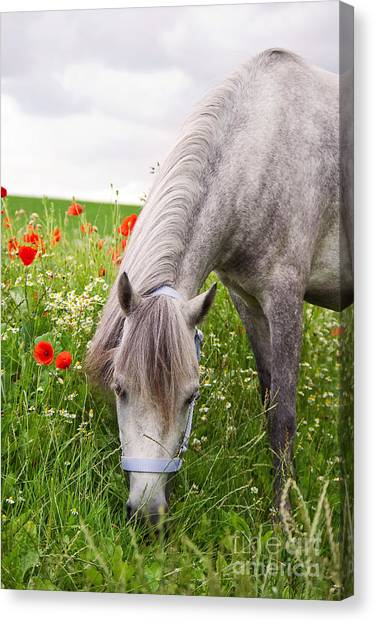 Lulu And The Poppies  Canvas Print