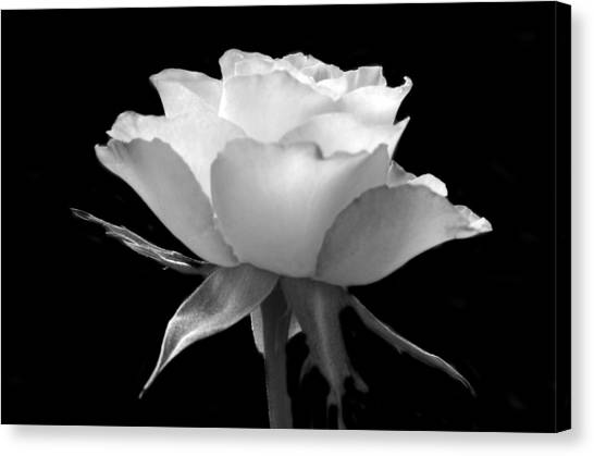 Luminous Rose Canvas Print