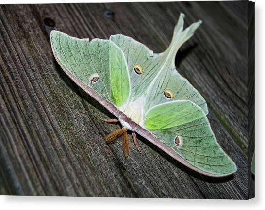 Luna Moth Canvas Print