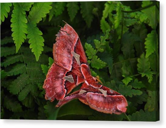 Little Things Canvas Print - Luna Moth by Jeff Swan