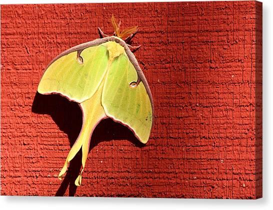 Luna Moth On Red Barn Canvas Print