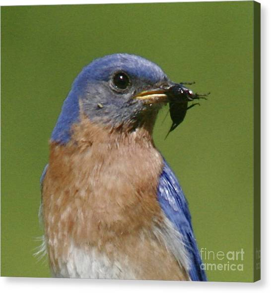 Lunch Time Blues Canvas Print by Robert Pearson