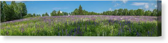 Lupine Field Canvas Print