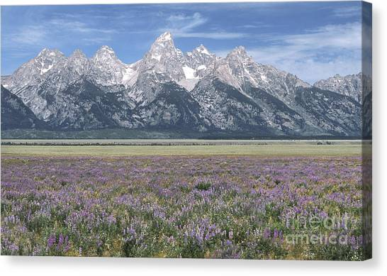 Lupine And Grand Tetons Canvas Print