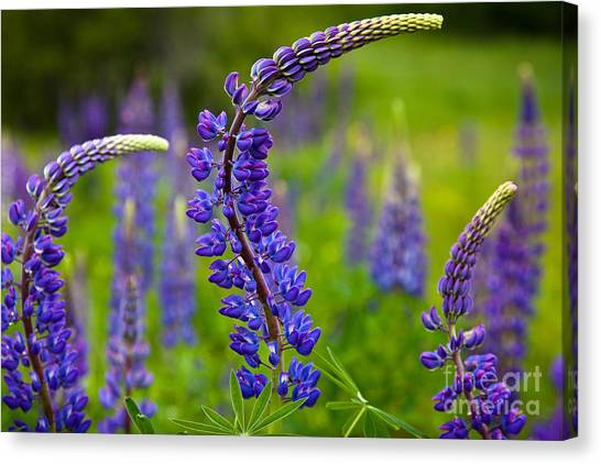 Lupine Curves Canvas Print