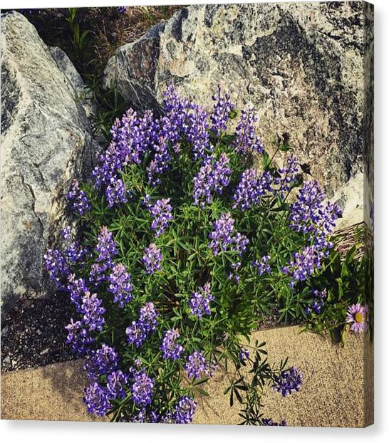 Washington Canvas Print - Lupine Flowers On The Mountain by Joan McCool