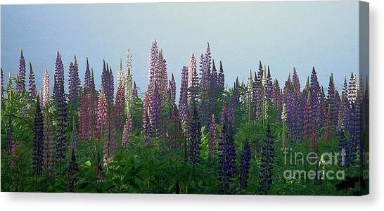 Lupine In Morning Light Canvas Print