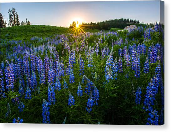 Uinta Canvas Print - Lupine Meadow by Dustin  LeFevre