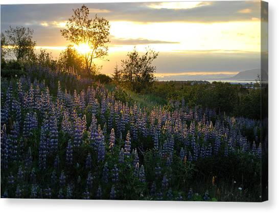 Lupine Sunset Canvas Print by Marilynne Bull