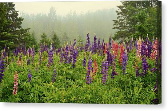 Lupins In The Mist Canvas Print