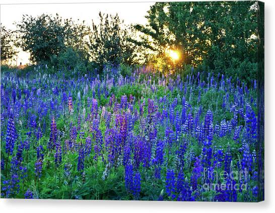 Lupins In The Sunbeam Canvas Print