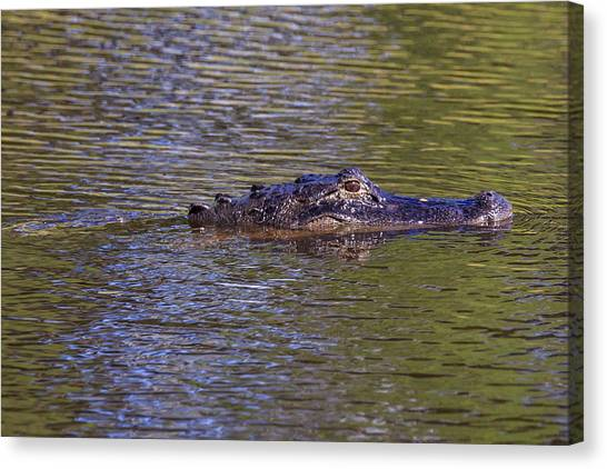 Lurking Alligator Canvas Print