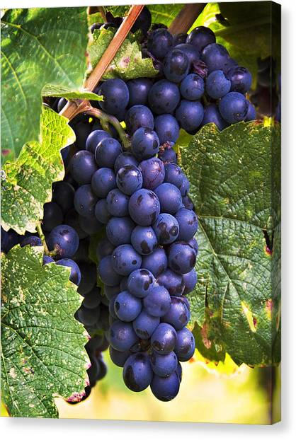 Wine Canvas Print - Luscious Grape Cluster by Marion McCristall