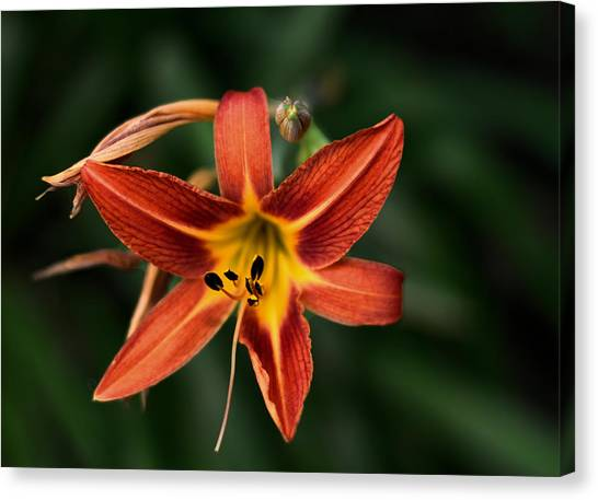 Luscious Tiger Lily Canvas Print