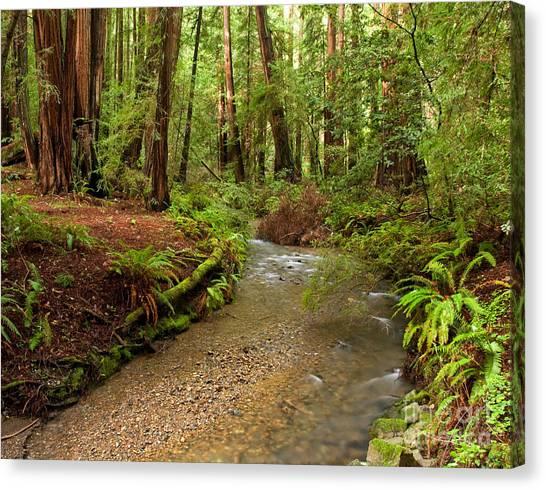 Lush Redwood Forest Canvas Print by Matt Tilghman