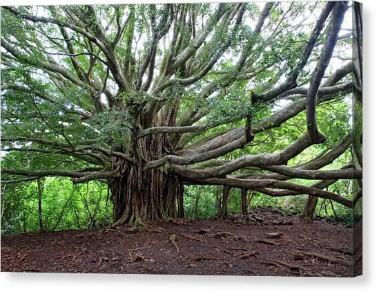 Lush Tropical Banyan Tree Canvas Print