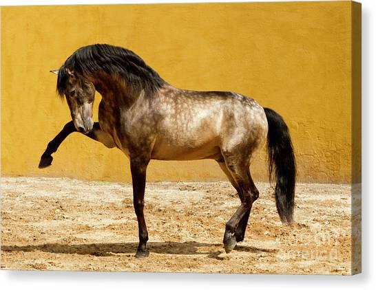Baroque Art Canvas Print - Lusitano Stallion by Carol Walker