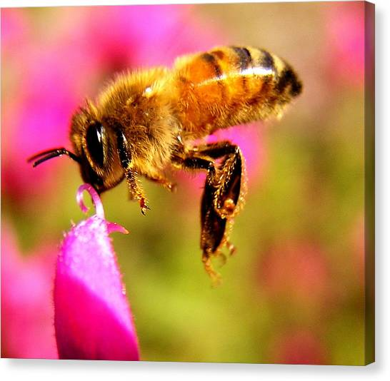 Luv Beeing Kissed Canvas Print by Trudi Simmonds