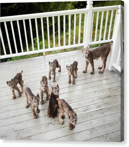 Alaska Canvas Print - Lynx Family Portrait by Tim Newton