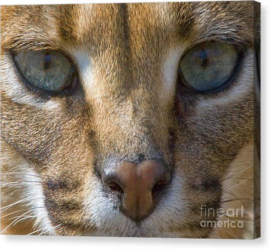 Lynx  Canvas Print by White Stork Gallery