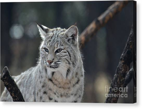 Lynx With A Very Unhappy Face Canvas Print