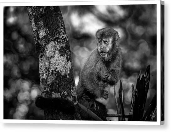 Macaco Prego II Canvas Print