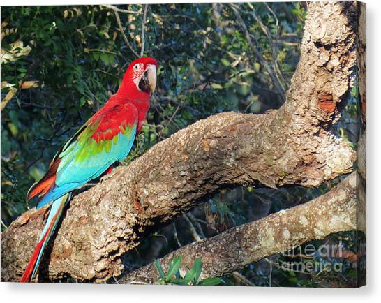 Macaw Resting Canvas Print