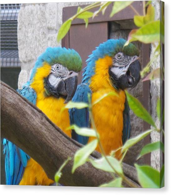 Macaws Canvas Print - #macaws #nature #wildlife #animals #zoo by Katie Greenwood