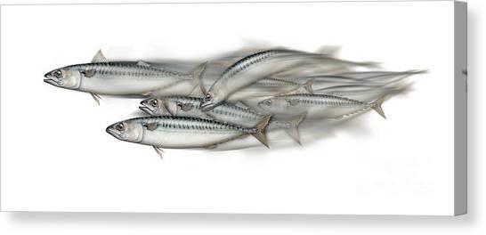 Mackerel School Of Fish - Scomber - Nautical Art - Seafood Art - Marine Art -game Fish Canvas Print