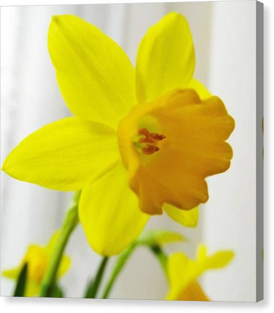 Finches Canvas Print - #macro #daffodils #daffodil #yellow by Gary Finch